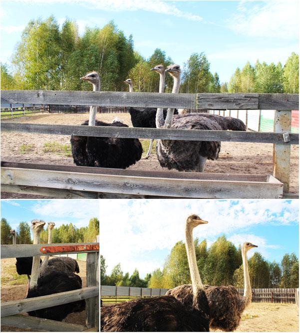 Взрослые страусы на ферме
